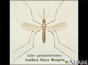 Mosquito,