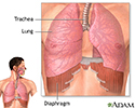 Diaphragm and lungs