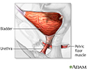 Bladder and urethral repair - series - Normal anatomy