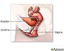 Female reproductive anatomy (mid-sagittal)