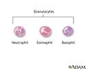 Granulocyte