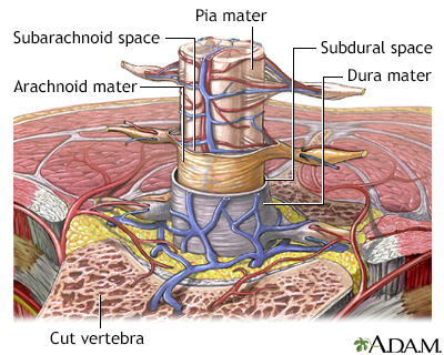 Meninges of the spine