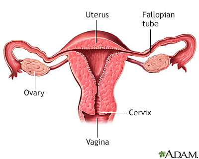 Normal uterine anatomy (cut section)