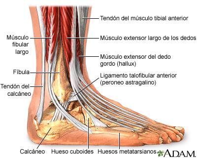Anatomía del tobillo