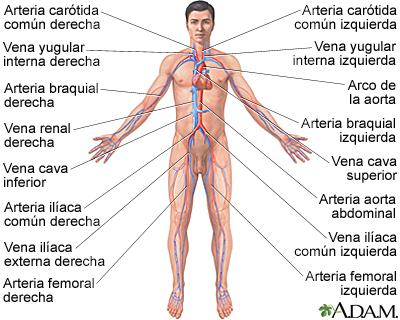 Sistema circulatorio | UM Baltimore Washington Medical Center