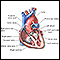 Image for Heart, section through the middle