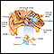 Image for Ear anatomy