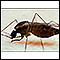 Image for Mosquito, adult feeding on the skin