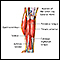 Image for Lower leg muscles
