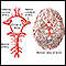 Image for Circle of Willis