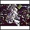 Image for Foxglove (Digitalis purpurea)