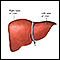 Image for Liver anatomy