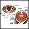 External and internal eye anatomy