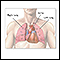 Image for Thoracic organs