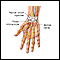 Image for Wrist anatomy