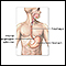 Image for Upper gastrointestinal system