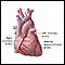 Anterior heart arteries