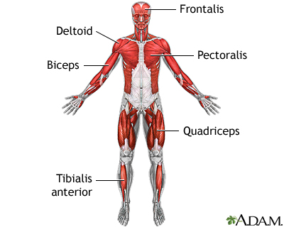 muscular system information, Muscles